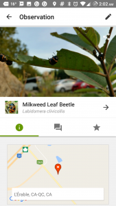 Artfully captured Milkweed Leaf Beetles in Quebec